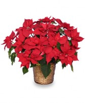 RADIANT POINSETTIA  Blooming Plant in Michigan City, IN | WRIGHT'S FLOWERS AND GIFTS INC.