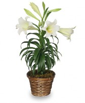 TRADITIONAL EASTER LILY Flowering Easter Plant in Bath, NY | VAN SCOTER FLORISTS