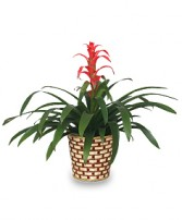 TROPICAL BROMELIAD PLANT  Guzmania lingulata major  in Essex Junction, VT | CHANTILLY ROSE FLORIST