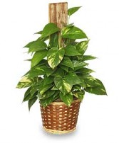 GOLDEN POTHOS PLANT  Scindaspus aureus  in Goshen, NY | JAMES MURRAY FLORIST