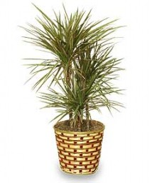 STANDARD RED MARGINED DRACAENA PLANT