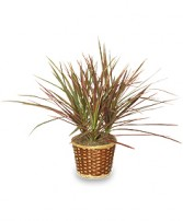 RED MARGINED DRACAENA   Dracaena marginata  in Holiday, FL | SKIP'S FLORIST & CHRISTMAS HOUSE
