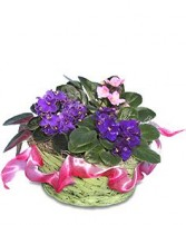 AFRICAN VIOLETS Basket of Plants in Catonsville, MD | BLUE IRIS FLOWERS