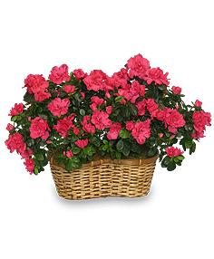 Hot Pink Azalea Basket Flowering Plants All House Plants