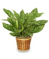 CHINESE EVERGREEN PLANT  Aglaonema commutatum  in Mission Hills, CA | MISSION HILLS FLORIST