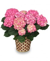 BLOOMING HYDRANGEA Plant Basket in Zachary, LA | FLOWER POT FLORIST