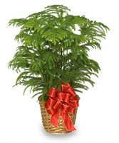 NORFOLK ISLAND PINE Holiday Plant Basket in Worcester, MA | GEORGE'S FLOWER SHOP