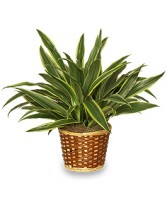 STRIPED DRACAENA PLANT  Dracaena deremensis  'Warneckei' in Bryson City, NC | VILLAGE FLORIST & GIFTS