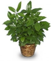 GREEN SCHEFFLERA PLANT  Brassia actinophylla  in Advance, NC | ADVANCE FLORIST & GIFT BASKET