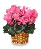 FLOWERING CYCLAMEN 6-inch Blooming Plant in Bethesda, MD | ARIEL FLORIST & GIFT BASKETS