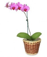 POTTED ORCHID PLANT Blooming Plant in Dallas, TX | MY OBSESSION FLOWERS & GIFTS