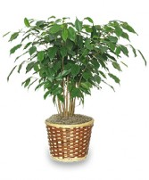 BENJAMIN FIG TREE  Ficus benjamina  in Bryson City, NC | VILLAGE FLORIST & GIFTS