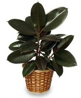 RUBBER PLANT BASKET  Ficus elastica  in Grand Island, NY | Flower A Day