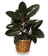 RUBBER PLANT BASKET  Ficus elastica 