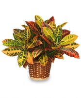 CROTON PLANT BASKET  Codiaeum variegatum pictum  in Redlands, CA | REDLAND'S BOUQUET FLORISTS & MORE