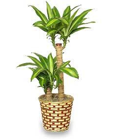 basket of corn plants dracaena fragrans massangeana in erin tn accents by bonnie. Black Bedroom Furniture Sets. Home Design Ideas