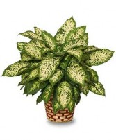 DUMB CANE PLANT  Dieffenbachia picta  in Zionsville, IN | NANA'S HEARTFELT ARRANGEMENTS