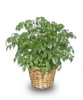 CHINA DOLL ARALIA PLANT  Radermachia sinica  in Saint Louis, MO | ALWAYS IN BLOOM