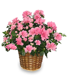 Blooming Azalea Plant  Rhododendron  hybrid in Gresham, OR | TRINETTE'S FLOWERS & GIFTS