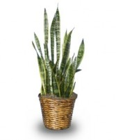 MOTHER-IN-LAW'S TONGUE  Sansevieria trifasciata laurentii  in Bryson City, NC | VILLAGE FLORIST & GIFTS