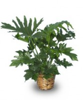 TREE PHILODENDRON  Philodendron selloum   in Meadow Lake, SK | FLOWER ELEGANCE