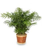 PARLOR PALM PLANT  Chamaedorea elegans  in Redlands, CA | REDLAND'S BOUQUET FLORISTS & MORE