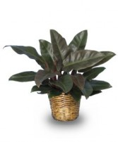 RED PRINCESS PHILODENDRON  Philodendron x 'Red Princess'  in Advance, NC | ADVANCE FLORIST & GIFT BASKET