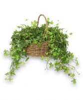 ENGLISH IVY PLANT  Hedera helix  in Goshen, NY | JAMES MURRAY FLORIST