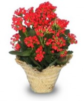 FLOWERING KALANCHOE  Kalanchoe blossfeldiana   in Florence, OR | FLOWERS BY BOBBI