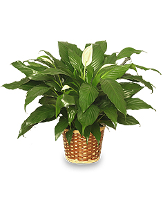 PEACE LILY PLANT    Spathiphyllum clevelandii  in Sioux Falls, SD | CREATIVE CHICK FLORAL AND GIFTS