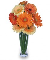 CITRUS COOLER Vase of Gerbera Daisies in Bath, NY | VAN SCOTER FLORISTS