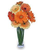 CITRUS COOLER Vase of Gerbera Daisies