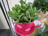 Cute colored tin in the shape of a teacup. Comes  with a Jade plant!!
