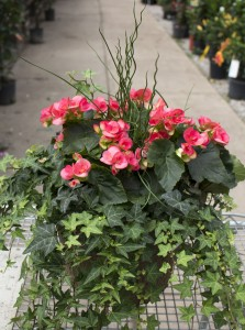 Begonia Beauty Planter Planter in Terre Haute, IN | Bouquets at The Tulip Company