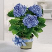 Blooming Hydrangea Plant Blooming Plant