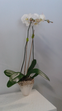 Blooming Orchid Plant Blooming Plant