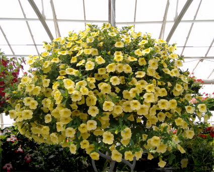 Chad's Pick: Sunny Hanging Basket Plant