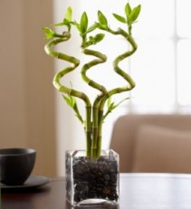 CURLY BAMBOO