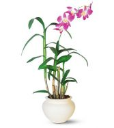 Dendrobium Orchid Single, Double or Triple