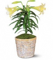 Easter Lily Lily plant