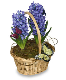 EARLY SPRING HYACINTH 6-inch Potted Plant