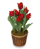 POTTED SPRING TULIPS 6-inch Blooming Plant in Newport, RI | LITTLE FLOWER FLORALS