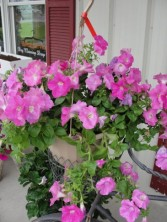 Hanging Baskets Outdoor Plants in Lima, OH | THE FLOWERLOFT