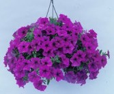 Hanging Plant (call for sizes and colors) Hanging Potted Plant