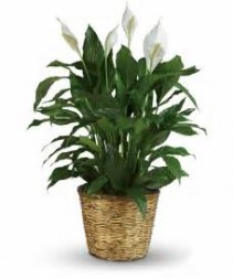 Peace Lily-Large Spathiphyllum