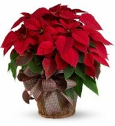 .Red Poinsettia Plant