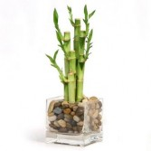 Lucky Bamboo Vase Arrangement in Thunder Bay, ON | GROWER DIRECT - THUNDER BAY