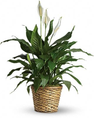 LUSH PEACE LILY  MANY SIZES AND CONTAINERS.