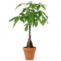 Money Tree Container may vary