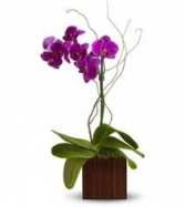 *LASTING LOVE* Phalaenopsis Orchid in a vase-about 16